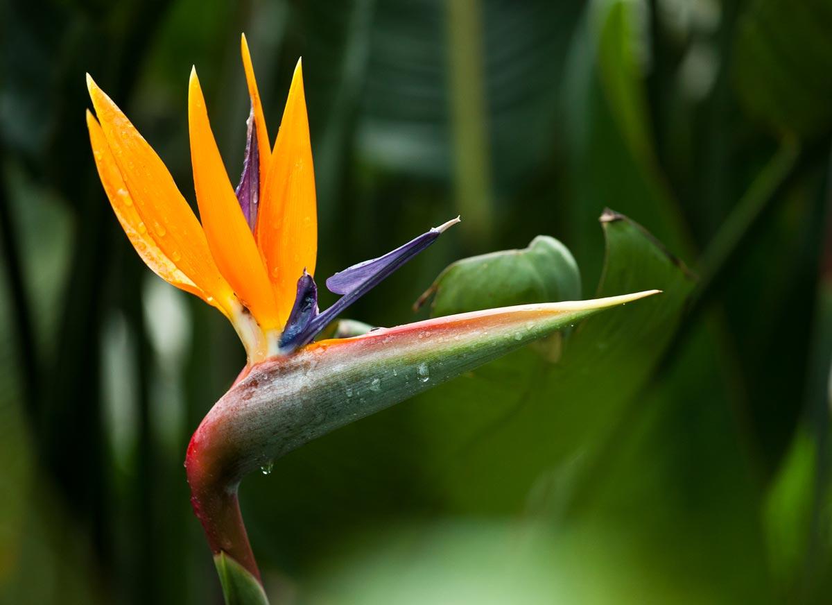 bird of paradise plant eden project shop