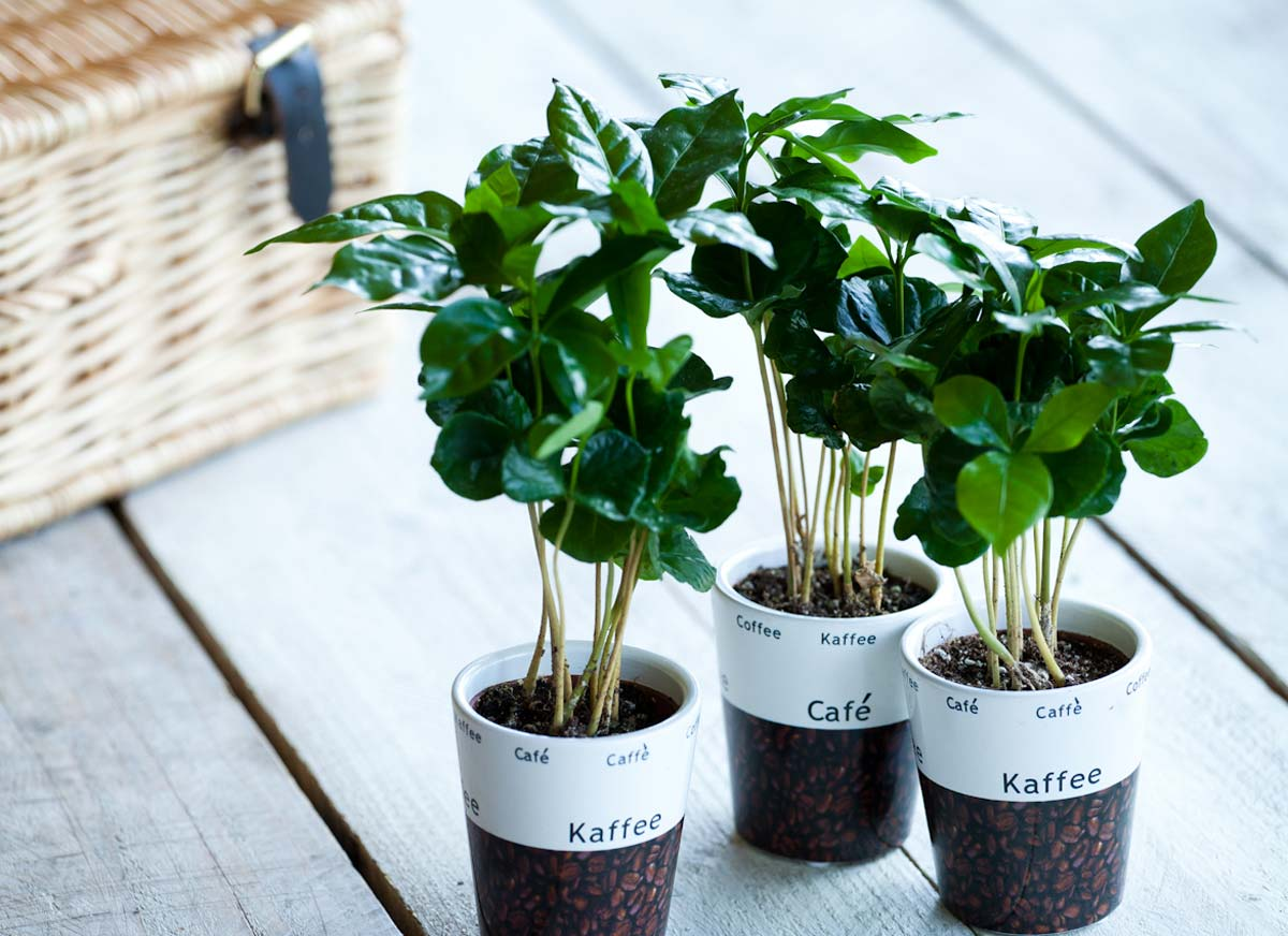 086024c5 Coffee plant in a cup | Eden Project Shop