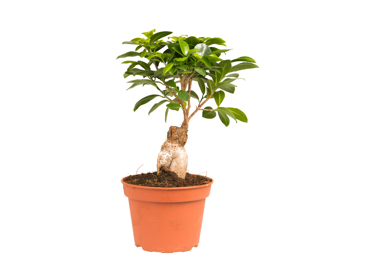 Ficus Ginseng Bonsai Eden Project Shop