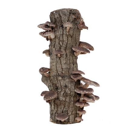 Shiitake and Oyster mushroom logs