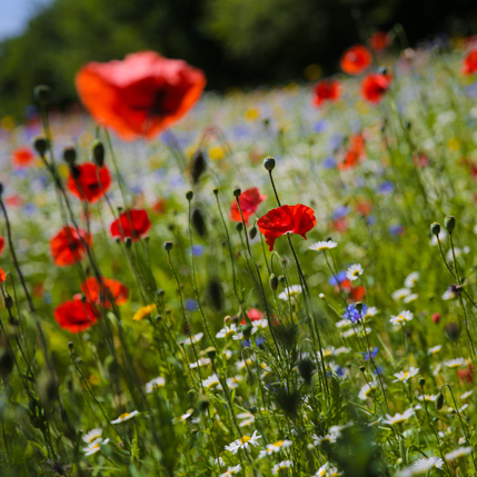 Wildflowers will attract a vast array of wildlife in to your garden
