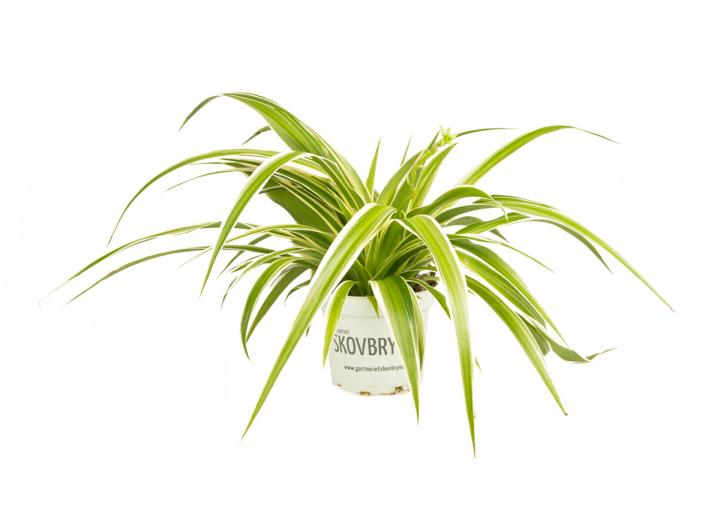 Chlorophytum - reversed spider plant