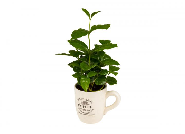 Coffee plant in a white ceramic cup