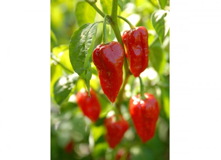 Dorset Naga chilli seeds