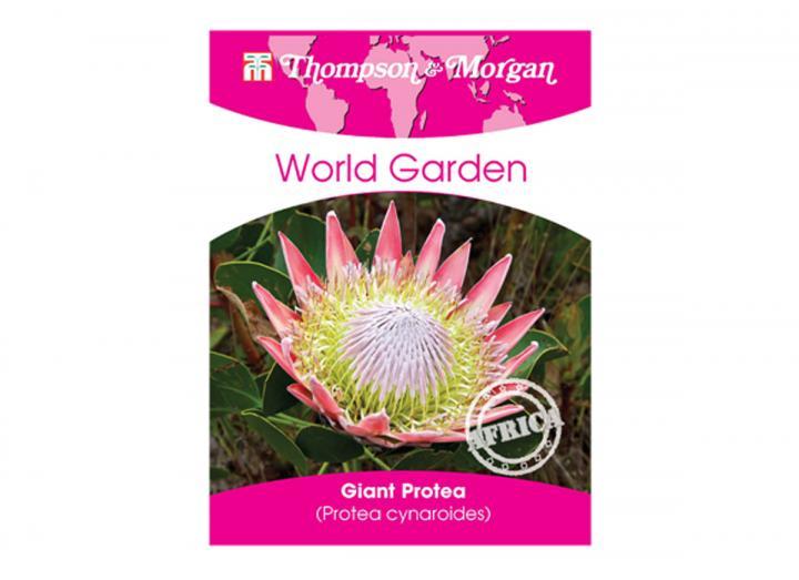 Giant protea seeds