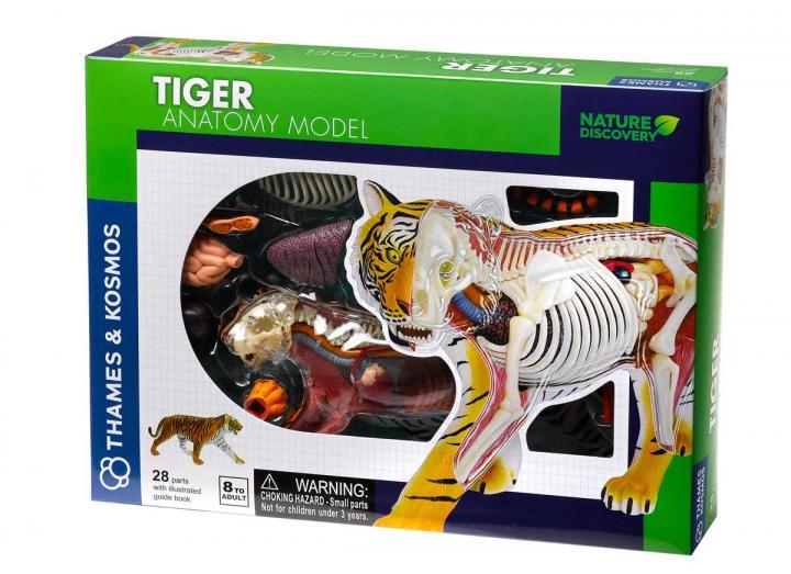 Tiger anatomy model