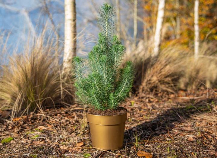 Pinus silver crest